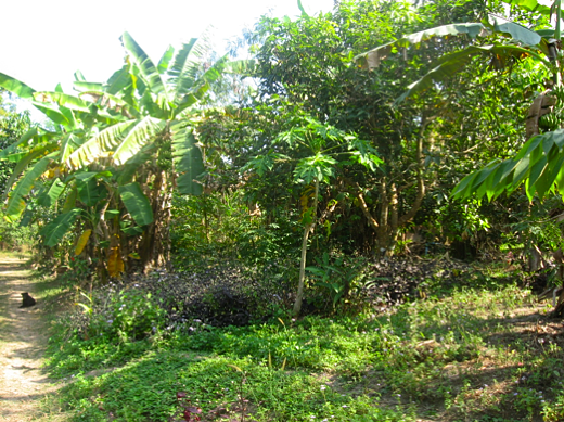image above a tropical food forest in thailand from httppermaculturedesignsblogspotcom2009_01_01_archivehtml