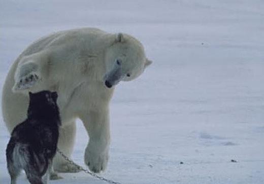 beruang kutub pandai berkawan