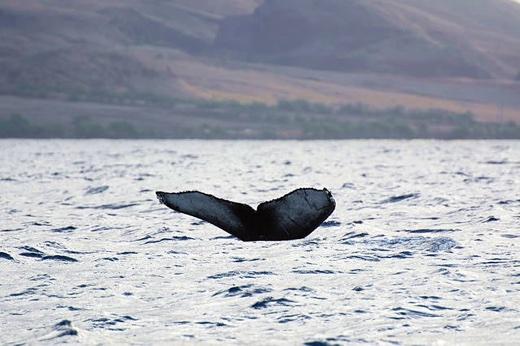http://www.islandbreath.org/2016Year/05/160520whales.jpg