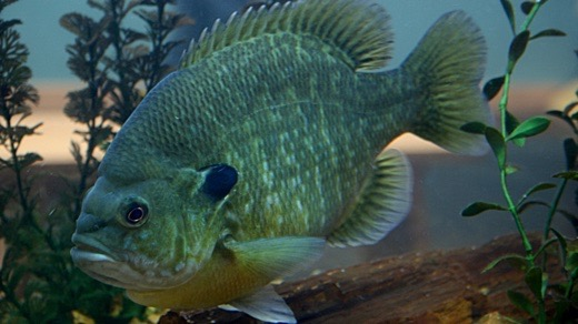 Ea o ka aina becoming bluegill for Bluegill fish tank