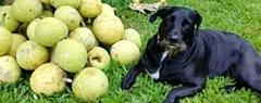 http://islandbreath.blogspot.com/2018/06/maui-breadfruit-company.html